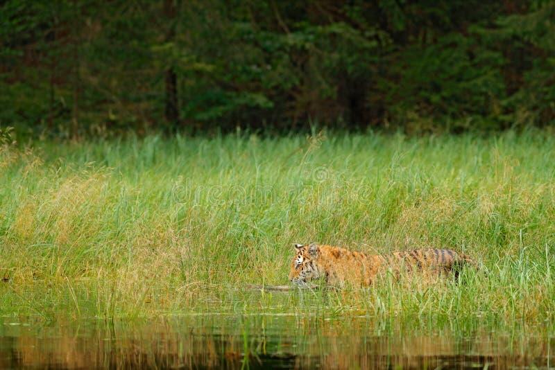 Tigre de Amur que anda na grama da água do rio Animal do perigo, taiga, Rússia Córrego verde animal da floresta Água do respingo  imagens de stock