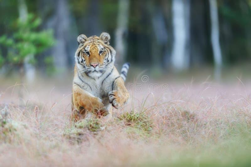 Tigre de Amur que ataca del frente Tigre siberiano que salta en taiga salvaje Tigre siberiano, altaica del Tigris del Panthera fotos de archivo
