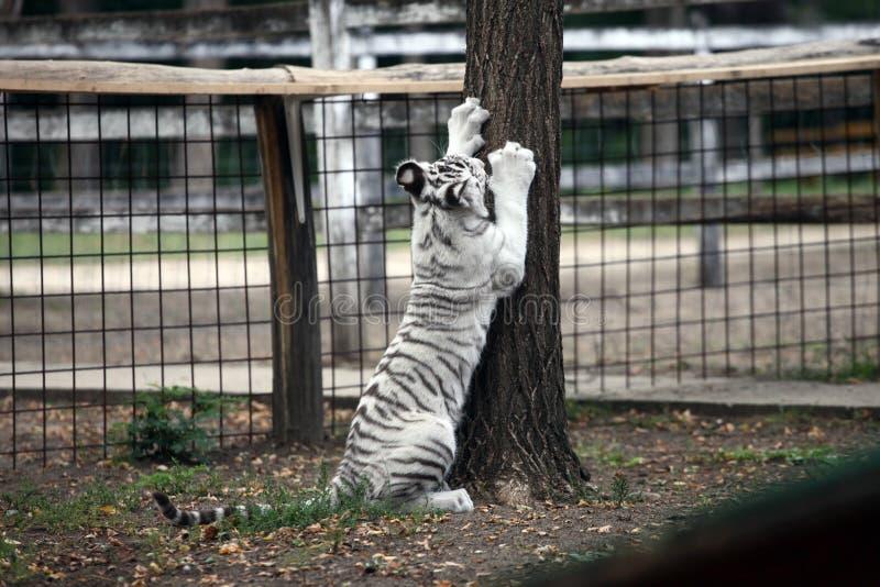 Tigre de bebê branco de bengal imagem de stock royalty free