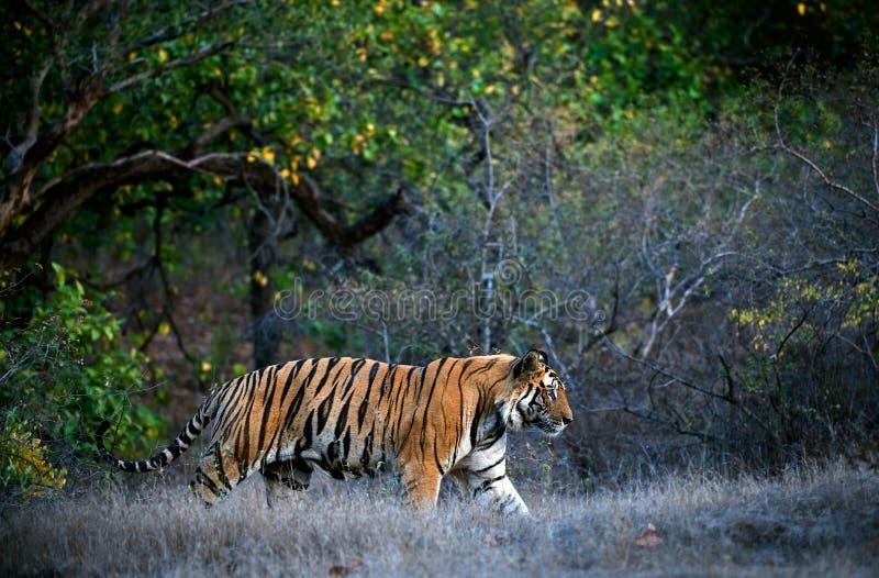 Tigre de Bengal. fotografia de stock