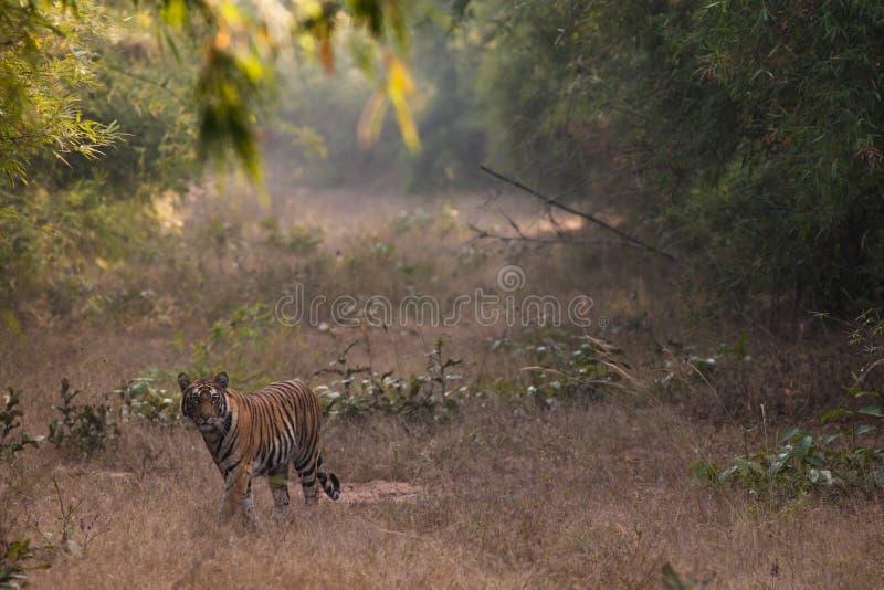 Tigre de Bengal bonito no parque nacional do Bandhavgarh da Índia foto de stock royalty free