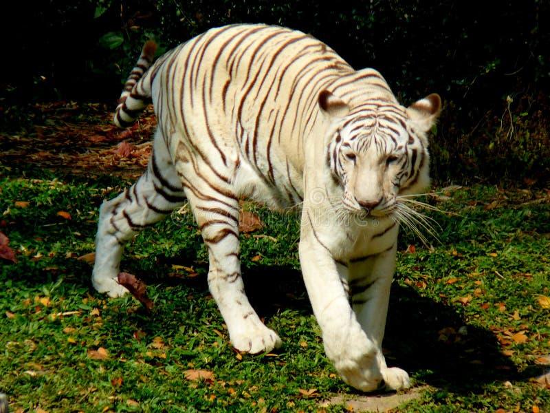 Tigre de Bengal branco em Chiang Mai Zoo imagem de stock