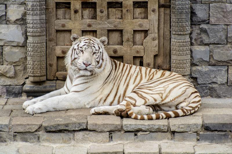 Tigre de Bengal branco que olha a câmera imagens de stock