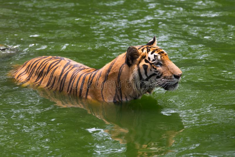 Tigre de Bengal na floresta imagem de stock royalty free