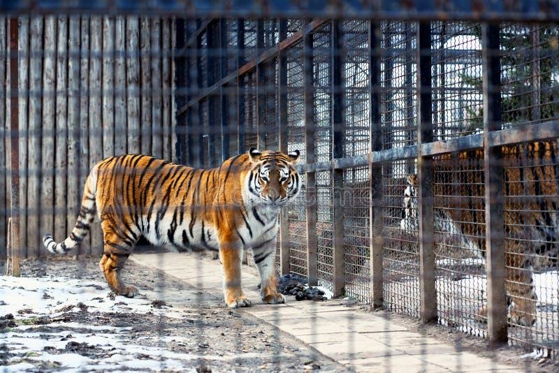 Tigre de Bengal na gaiola foto de stock royalty free