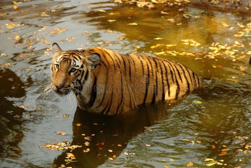 Tigre de Bengal real na água fotografia de stock royalty free