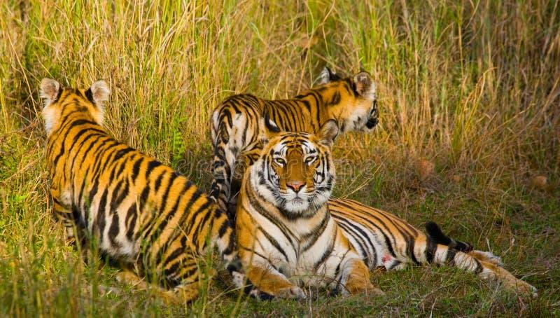 Tigre de Bengal selvagem da mãe e do filhote na grama India PARQUE NACIONAL DE BANDHAVGARH Madhya Pradesh foto de stock royalty free