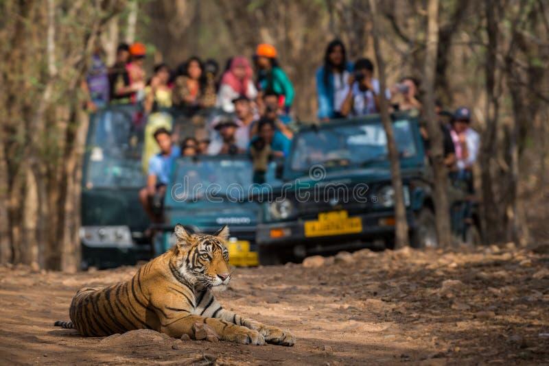 Tigre de bengal selvagem do homem do Showstopper A que senta-se na estrada e em veículos do safari do fundo fotos de stock