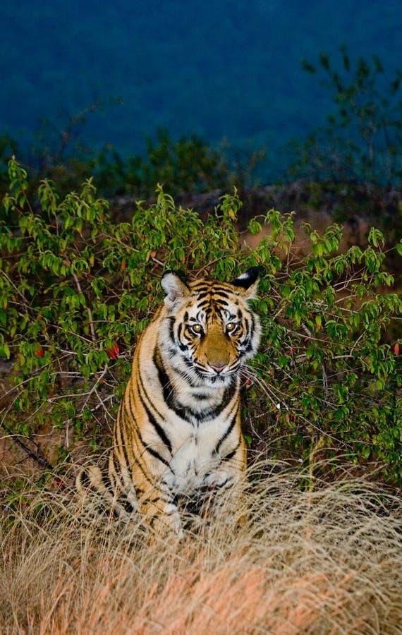 Tigre de Bengal selvagem que senta-se na terra cedo na manhã India PARQUE NACIONAL DE BANDHAVGARH Madhya Pradesh imagem de stock royalty free