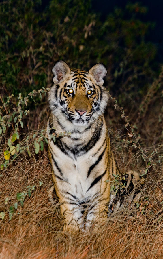 Tigre de Bengal selvagem que senta-se na terra cedo na manhã India PARQUE NACIONAL DE BANDHAVGARH Madhya Pradesh fotografia de stock