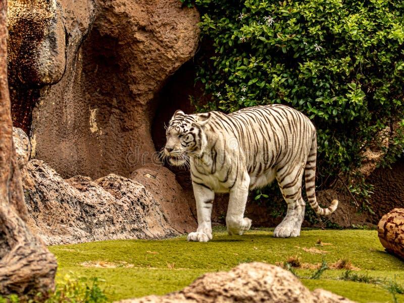 Tigre de Bengala blanco grande que forrajea para la comida imagen de archivo libre de regalías