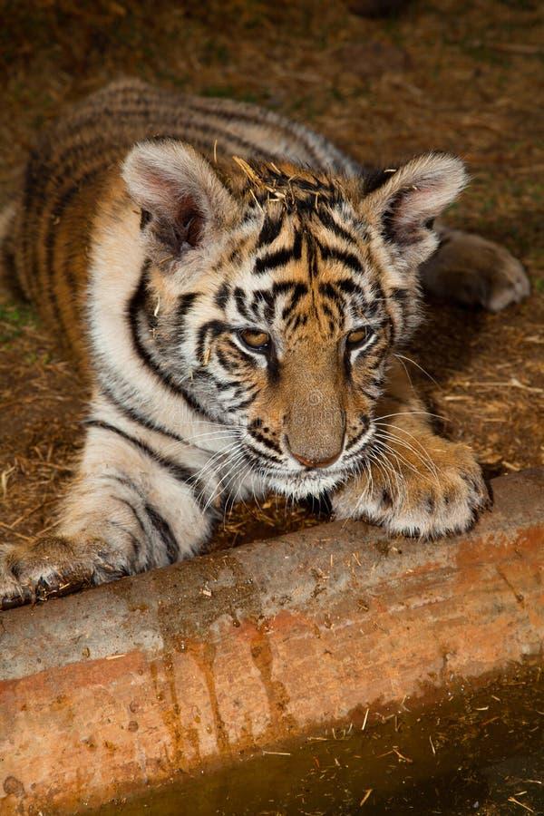 Tigre de Bengala del bebé en el borde del agua imagen de archivo