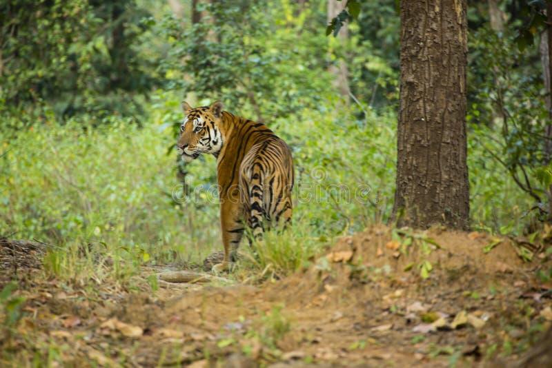 Tigre de Bengala del varón en selva imágenes de archivo libres de regalías