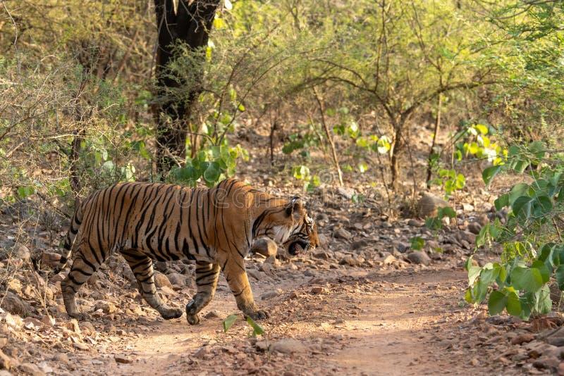 Tigre de Bengala del varón del misterio que cruza un rastro de la selva durante safari del día entero en Ranthambore fotos de archivo libres de regalías