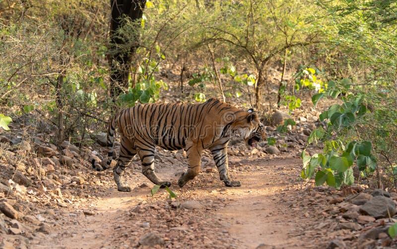 Tigre de Bengala del varón del misterio que cruza un rastro de la selva durante safari del día entero en Ranthambore imagen de archivo libre de regalías