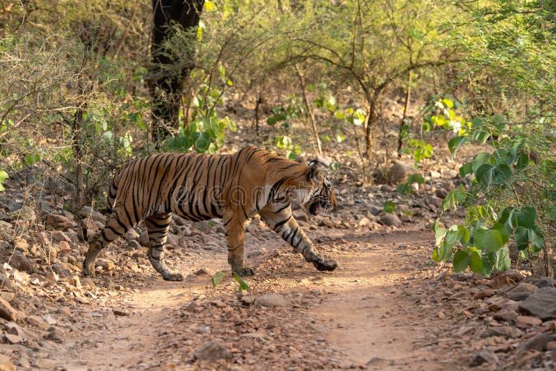 Tigre de Bengala del varón del misterio que cruza un rastro de la selva durante safari del día entero en Ranthambore imagenes de archivo