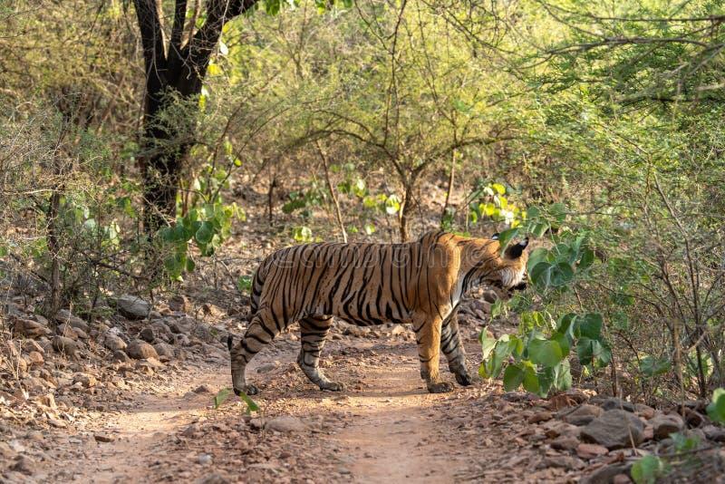 Tigre de Bengala del varón del misterio que cruza un rastro de la selva durante safari del día entero en Ranthambore fotos de archivo