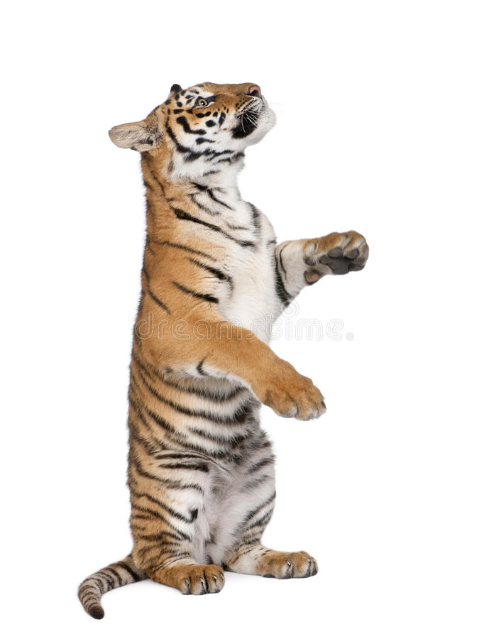 Tigre de Bengala delante de un fondo blanco imagenes de archivo