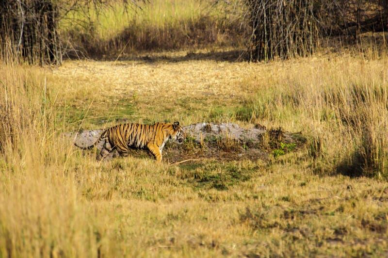 Tigre de Bengala en el vagabundeo en Kanha fotografía de archivo