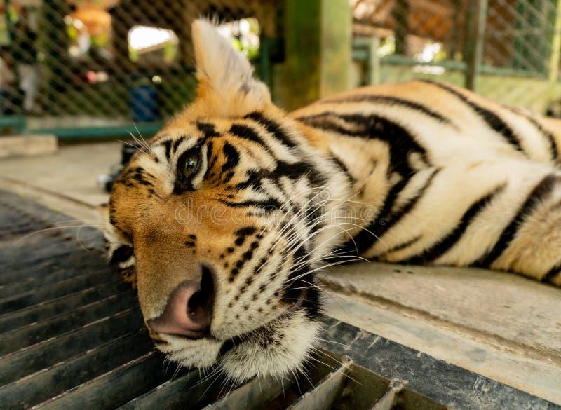 Tigre de Bengala enjaulado en Tailandia fotografía de archivo libre de regalías