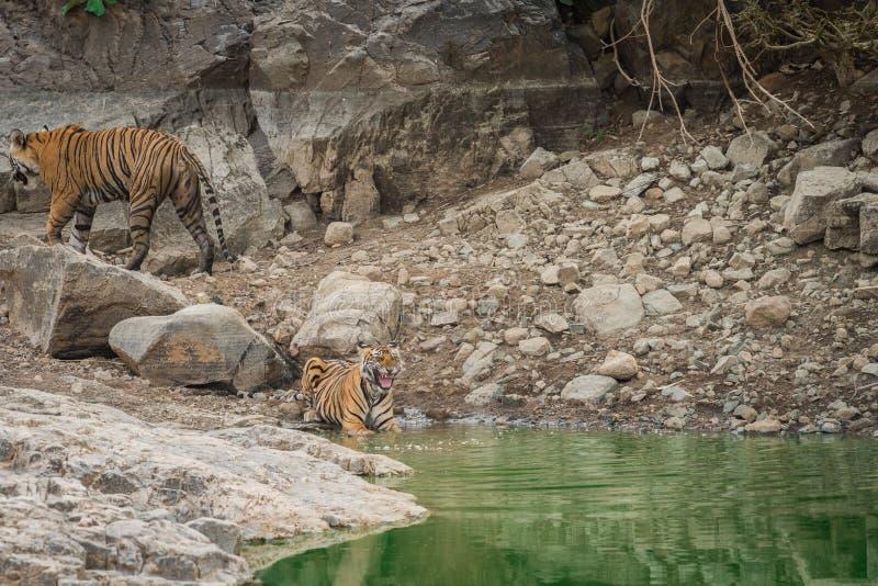 Tigre de Bengala femenino de mirada enojado y su cachorro con expresiones de la cara cerca del cuerpo del agua durante safari del foto de archivo
