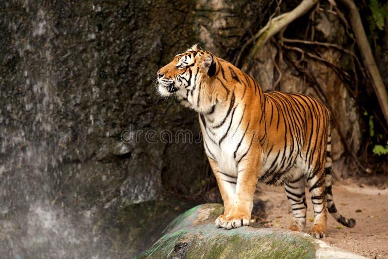 Tigre de Bengala real imagen de archivo