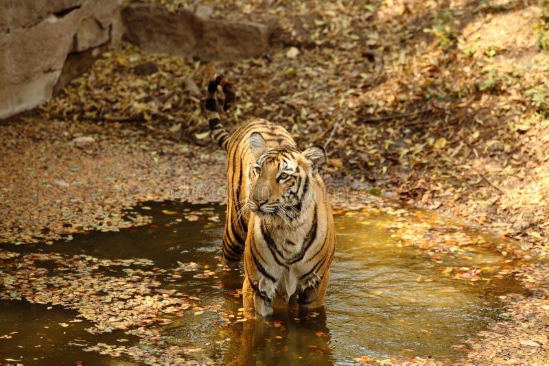 Tigre de Bengala real en agua fotos de archivo libres de regalías