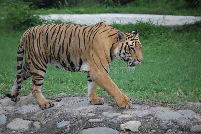 Tigre de Bengala real en el parque zoológico foto de archivo