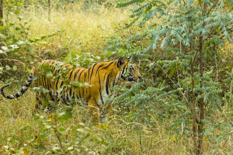 Tigre de Bengala salvaje en alta hierba fotografía de archivo