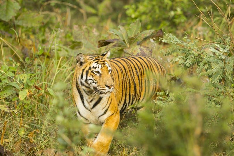 Tigre de Bengala salvaje femenino grande imagen de archivo libre de regalías