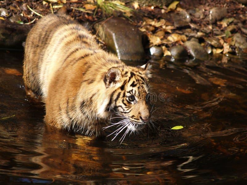 Tigre de Bengale image libre de droits