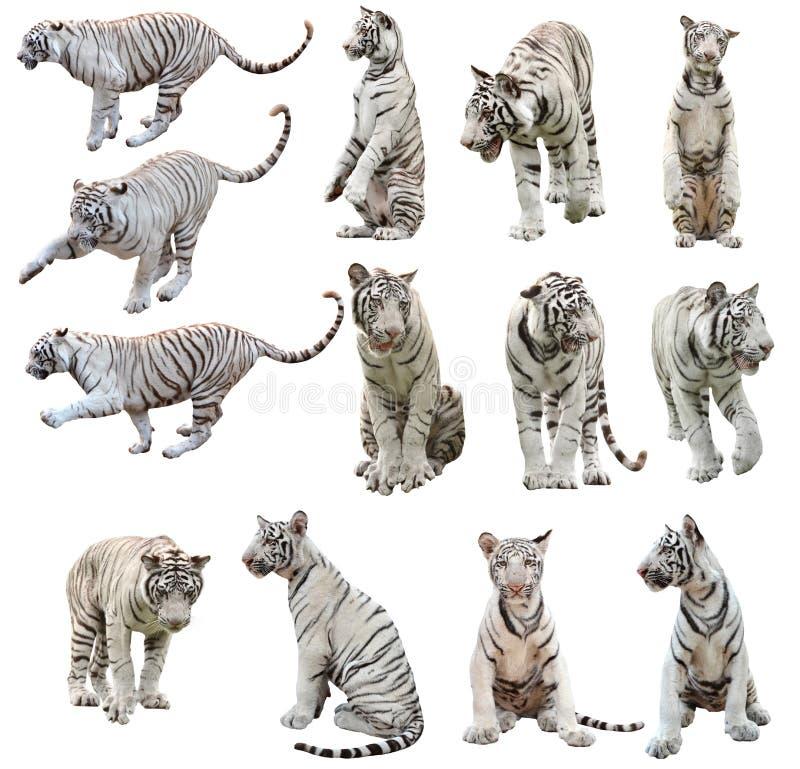 Tigre de Bengale blanc d'isolement image libre de droits