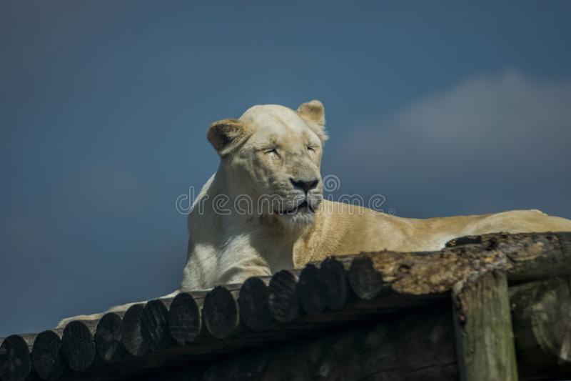 Tigre de Bengale blanc sans rayure photos stock