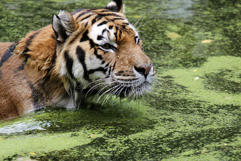 Tigre de Bengale dans l'eau images libres de droits