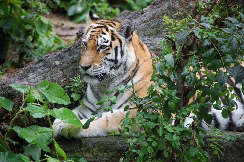 Tigre de Bengale dans la jungle indienne photographie stock libre de droits