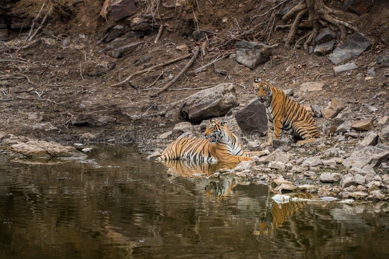 Tigre de bengale, mère en colère, et son petit avec l'expression du visage et montrant des canines pour rester à l'écart du trou  photos stock