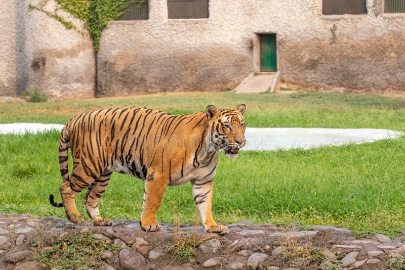Tigre de Bengale marchant en parc zoologique photo stock