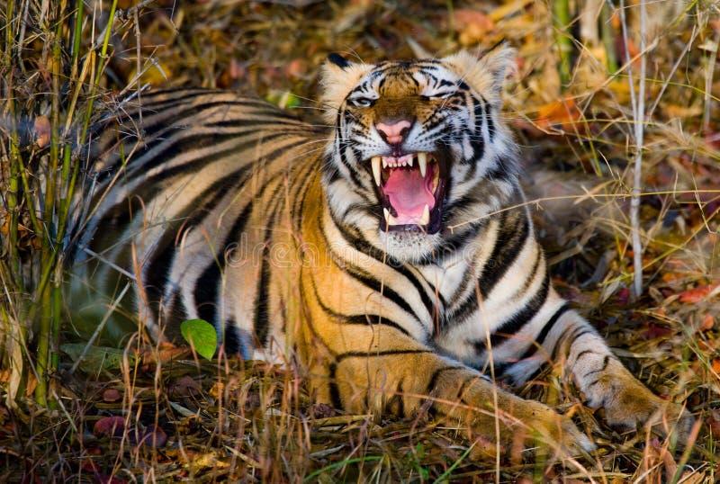 Tigre de Bengale sauvage se trouvant sur l'herbe et les bâillements l'Inde STATIONNEMENT NATIONAL DE BANDHAVGARH Madhya Pradesh images libres de droits
