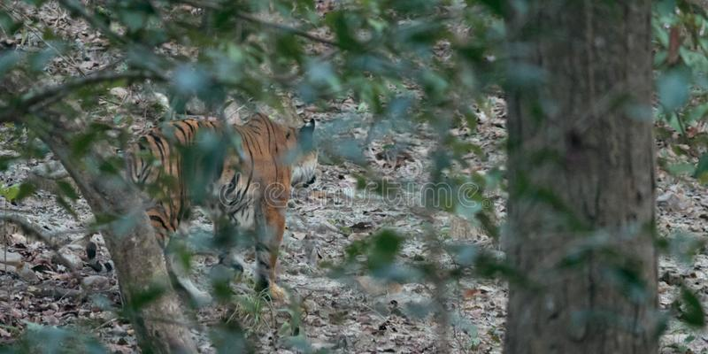 Tigre de Bengale sur le vagabondage image libre de droits