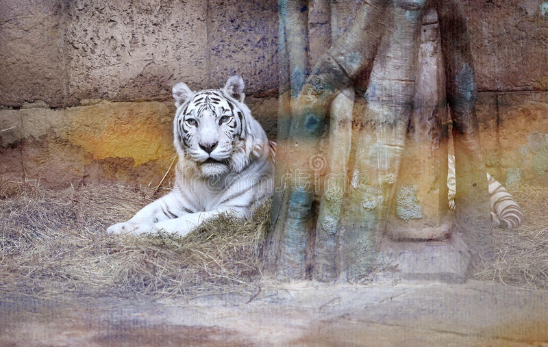 Tigre de blanc de photo photo stock