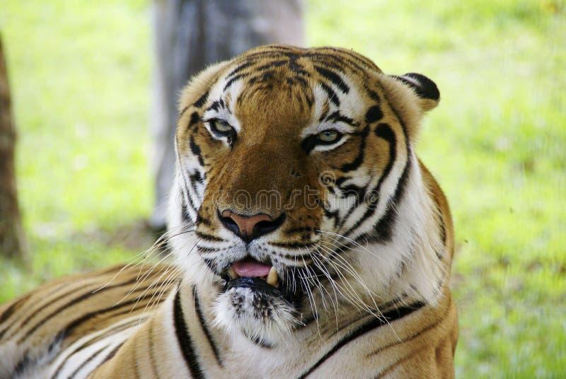 Tigre de Bornéu fotografia de stock