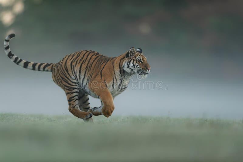 Tigre de corrida no campo do verde da manh? Vista lateral ao animal perigoso Profil do tigre na corrida agressiva Tigre Siberian fotos de stock