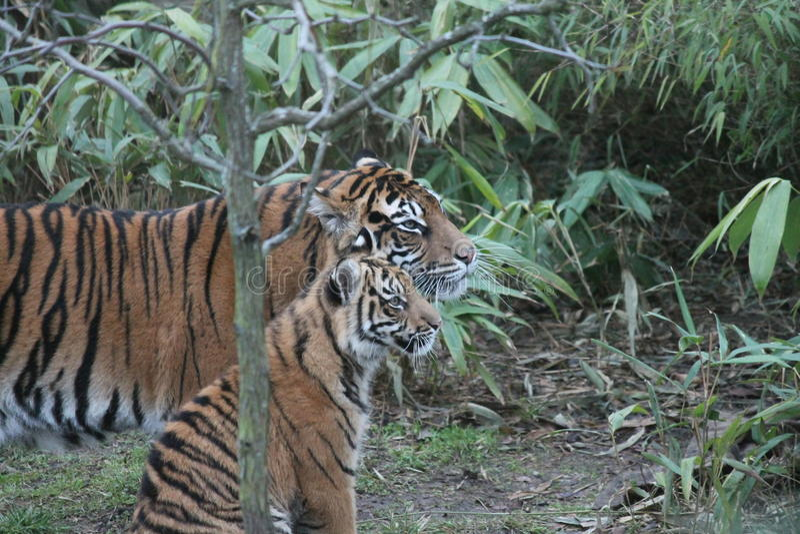 Tigre de Cub Sumatran raro e posto em perigo imagem de stock royalty free