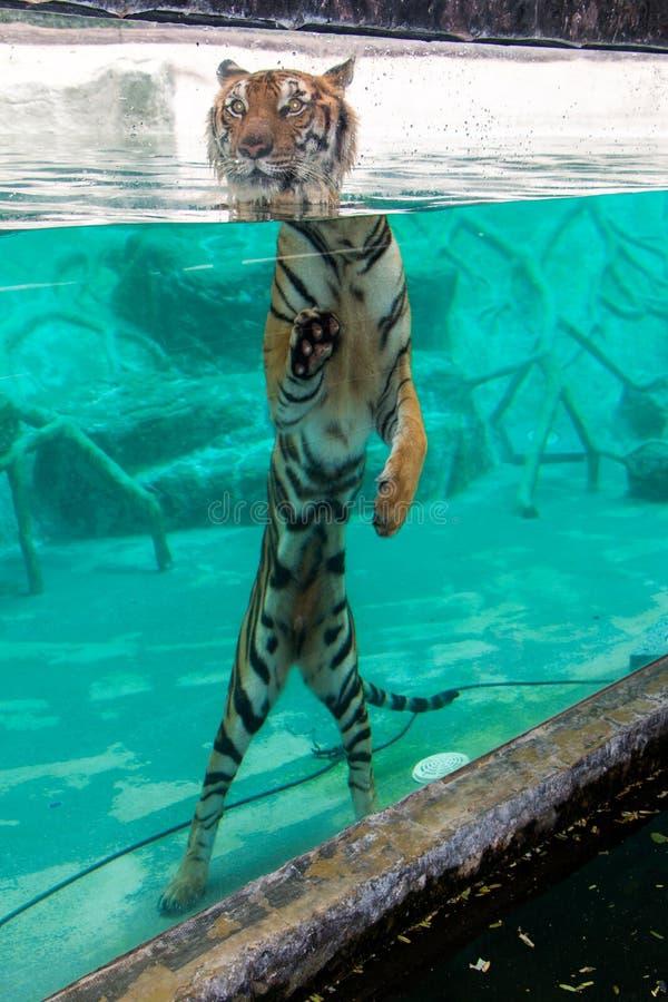 Tigre de flottement photographie stock libre de droits