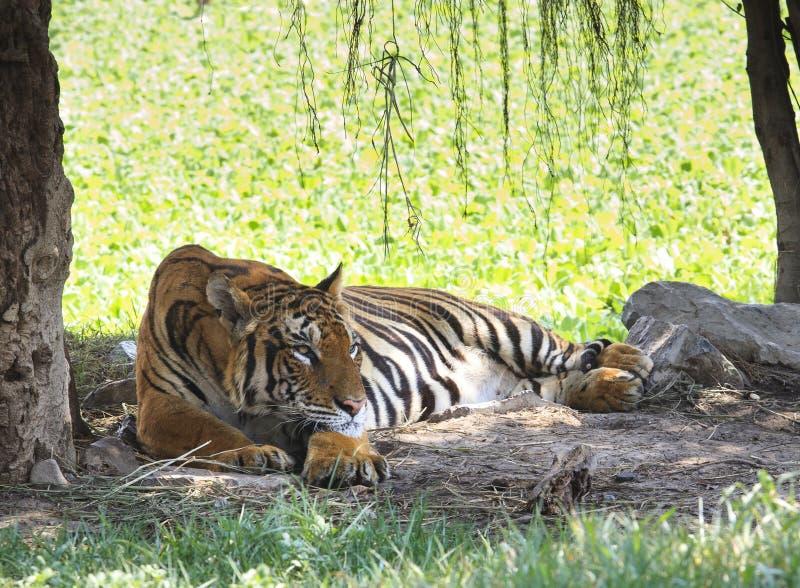 Tigre de Indochina que miente en campo imagen de archivo libre de regalías