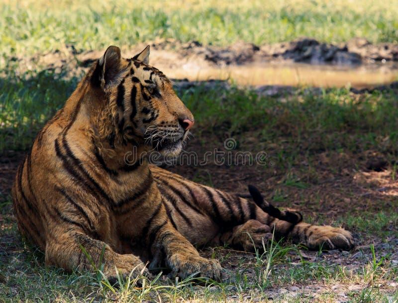Tigre de Indochina que miente en campo foto de archivo