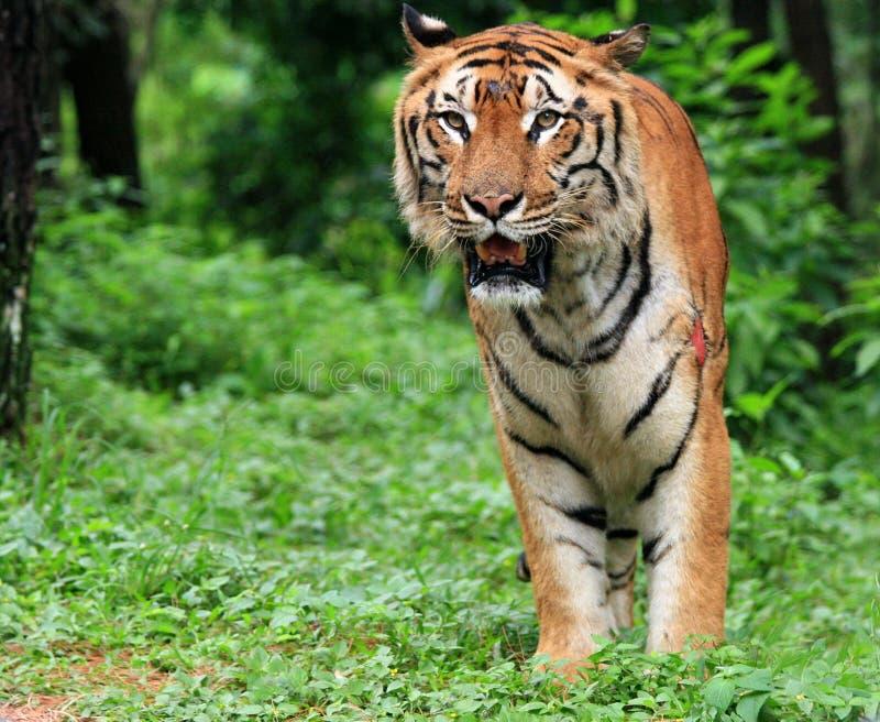 Tigre de java images libres de droits image 3999629 - Images tigres gratuites ...