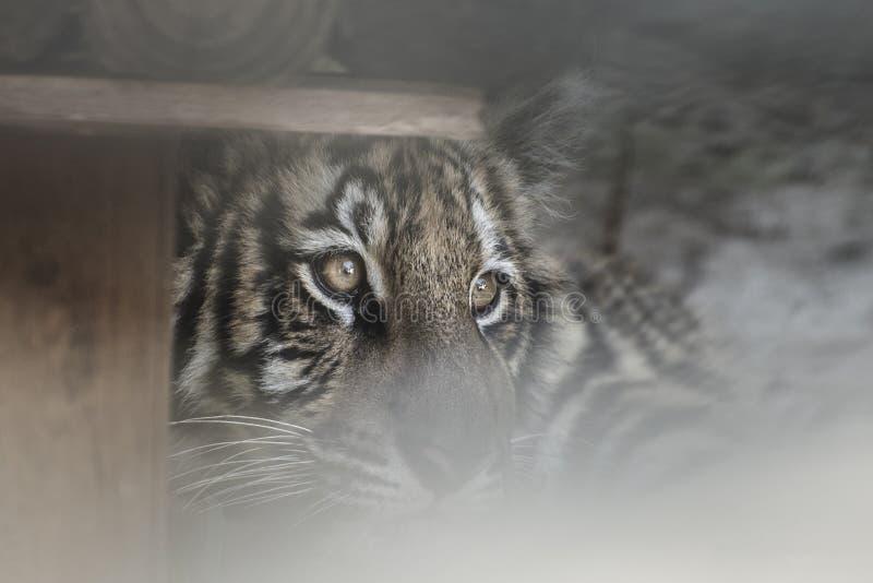 tigre de l'oeil s image libre de droits