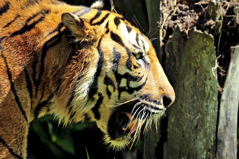 Tigre de la natación de Sumatra en la selva fotos de archivo