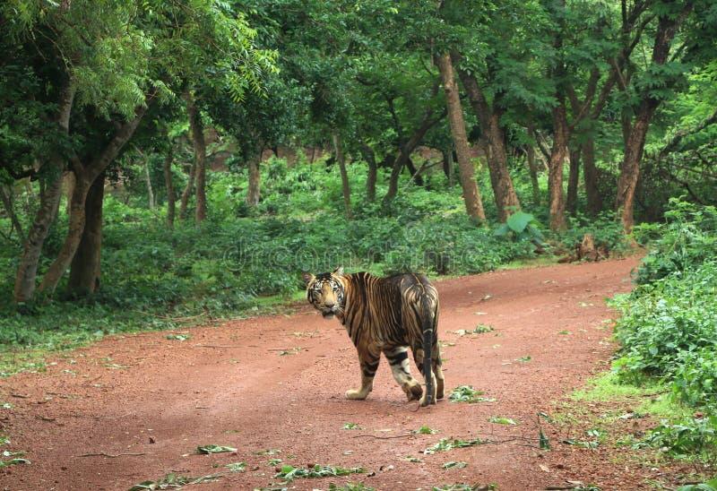 Tigre de Melanistic de Nandankanan image libre de droits
